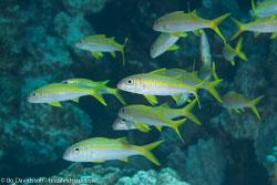 BD-120423-Fury-Shoal-6146-Mulloidichthys-vanicolensis-(Valenciennes.-1831)-[Yellowfin-goatfish].jpg